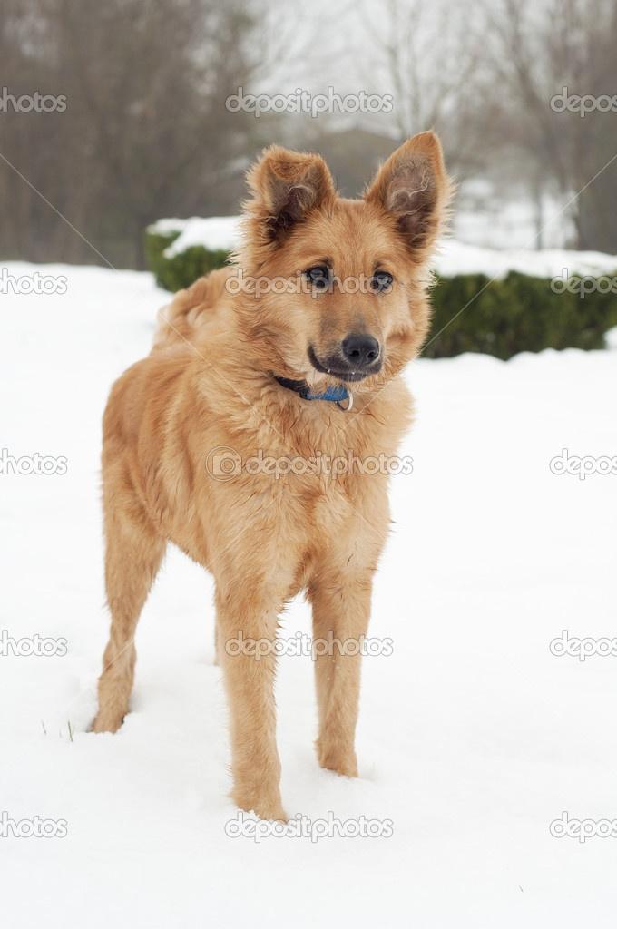 Basque Shepherd Dog Puppy