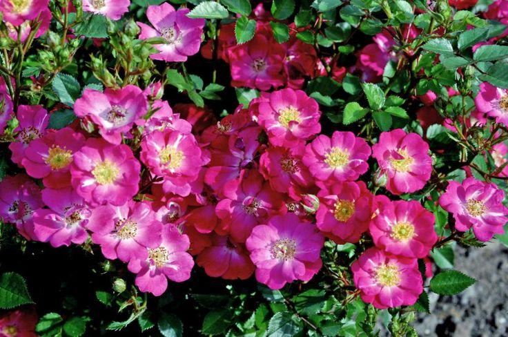 Topfrosen verwandeln die Terrasse über Monate in ein farbenfrohes Blütenmeer, versüßen den Sitzplatz mit herrlichem Duft und können ganzjährig im Freien bleiben. Hier sind die wichtigsten Pflegetipps für die farbenfrohen Dauerblüher.
