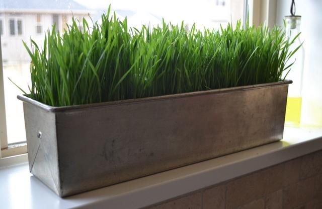 how to grow wheatgrass centerpieces