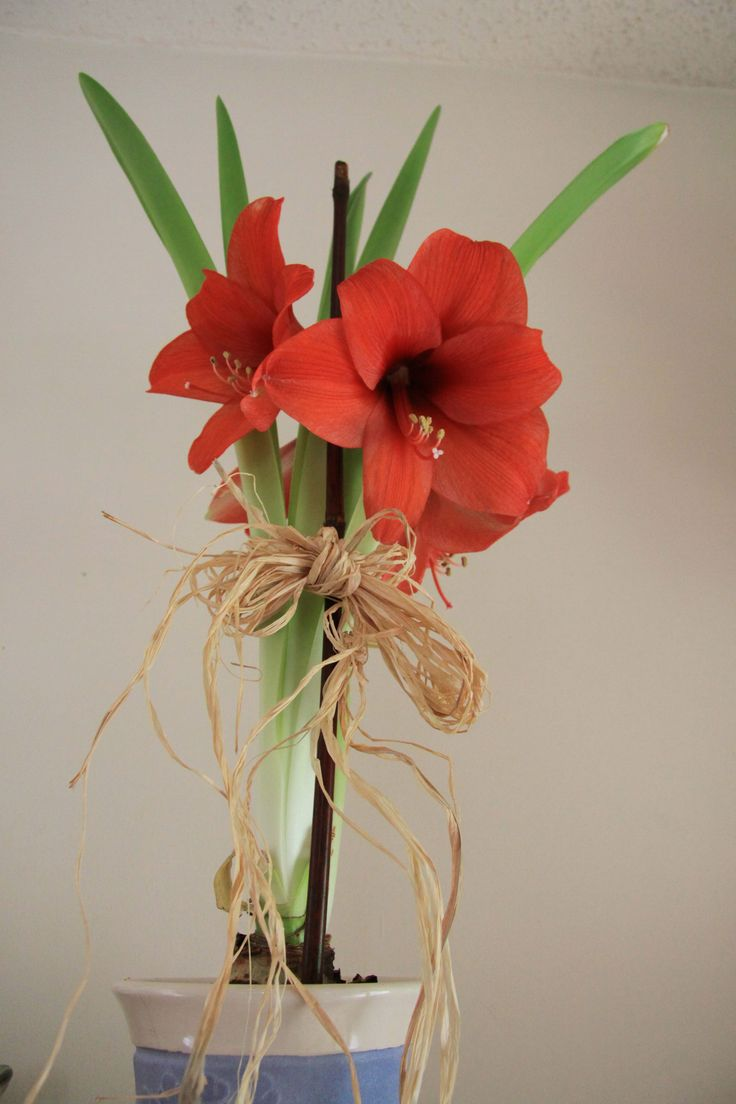 Day 3   April 26/15:   Photo of Amaryllis in blue pot.