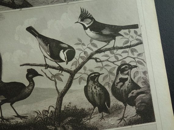 BIRD old print of Birds original 1849 antique pictures about