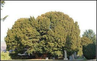Questo bellissimo tasso si chiama Llangernyw e risiede in un piccolo sagrato della chiesa di San Dygain, nel villaggio di Llangernyw nel Galles del nord. L'albero è stato piantato probabilmente durante l'età del bronzo della Gran Bretagna (dal 2100 al 750 a.C.) e si stima che abbia un'età compresa tra i 4000  e i 5000 anni.  La circonferenza dell'albero, al livello del suolo, è di 10,75 m.