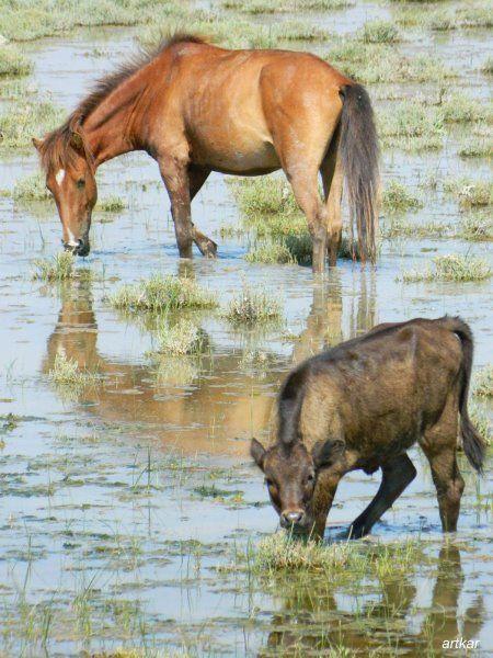 Acheloos river delta feral horse. Υπέροχο το τοπίο σε μία από τις εντυπωσιακότερες αμμουδιές της δυτικής Ελλάδας και έναν μοναδικό υγροβιότοπο, με λευκά κρινάκια της άμμου να ευωδιάζουν πλάι στο κύμα. Αν είστε τυχεροί, θα δείτε τα άγρια άλογα του Λούρου να καλπάζουν ανάμεσα στην παραλία και τις εκβολές του Αχελώου. Πιστεύεται ότι ανήκουν στη σπάνια φυλή της Πίνδου και συγγενεύουν στα χαρακτηριστικά -ελαφριά χαίτη, ρυθμικός...