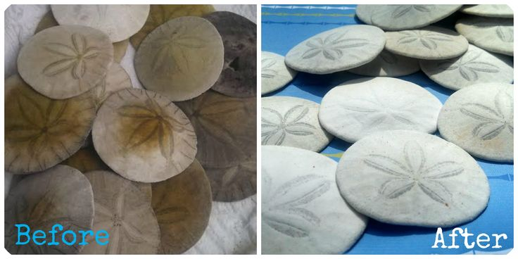 How to clean Sand Dollars - Simply Bubbly