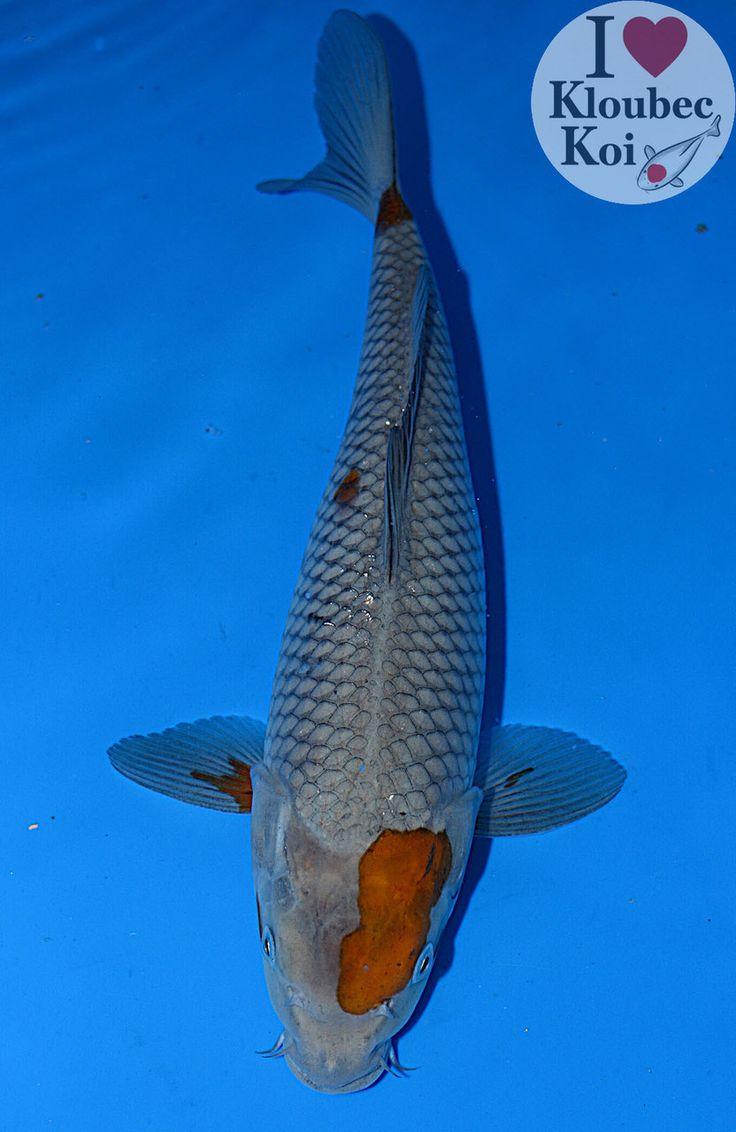 Les 55 meilleures images du tableau kujaku sur pinterest for Poisson rouge carpe koi