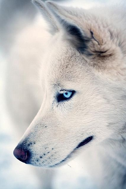 ^White wolf with vibrant blue eyes