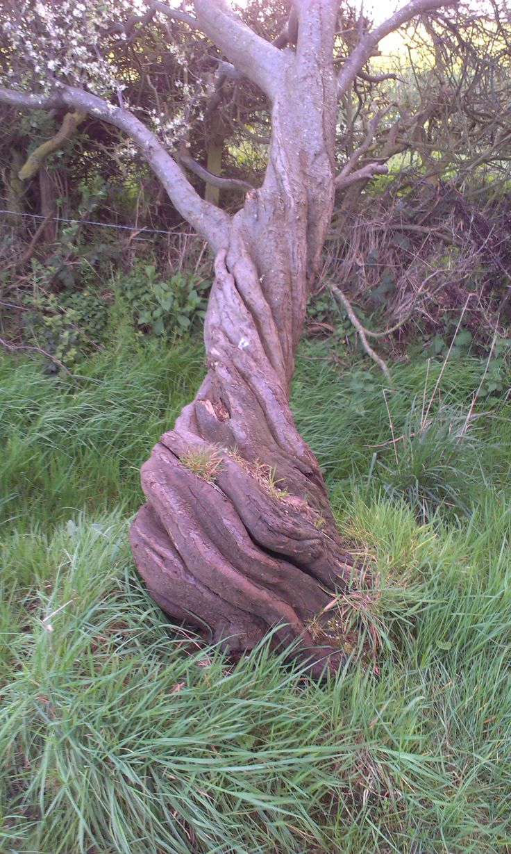A torched twisted tree Whitfield Common to Barnston Church walk