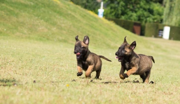 Belgian Malinois Puppies Sable Puppies Www Wolfsbanek9 Com