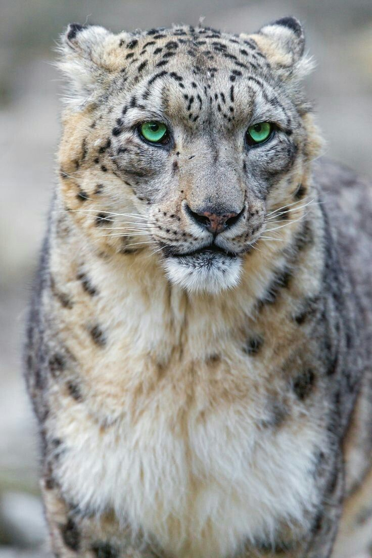 AWWW.... this green eyes !!!! #Cheetah - Gepard