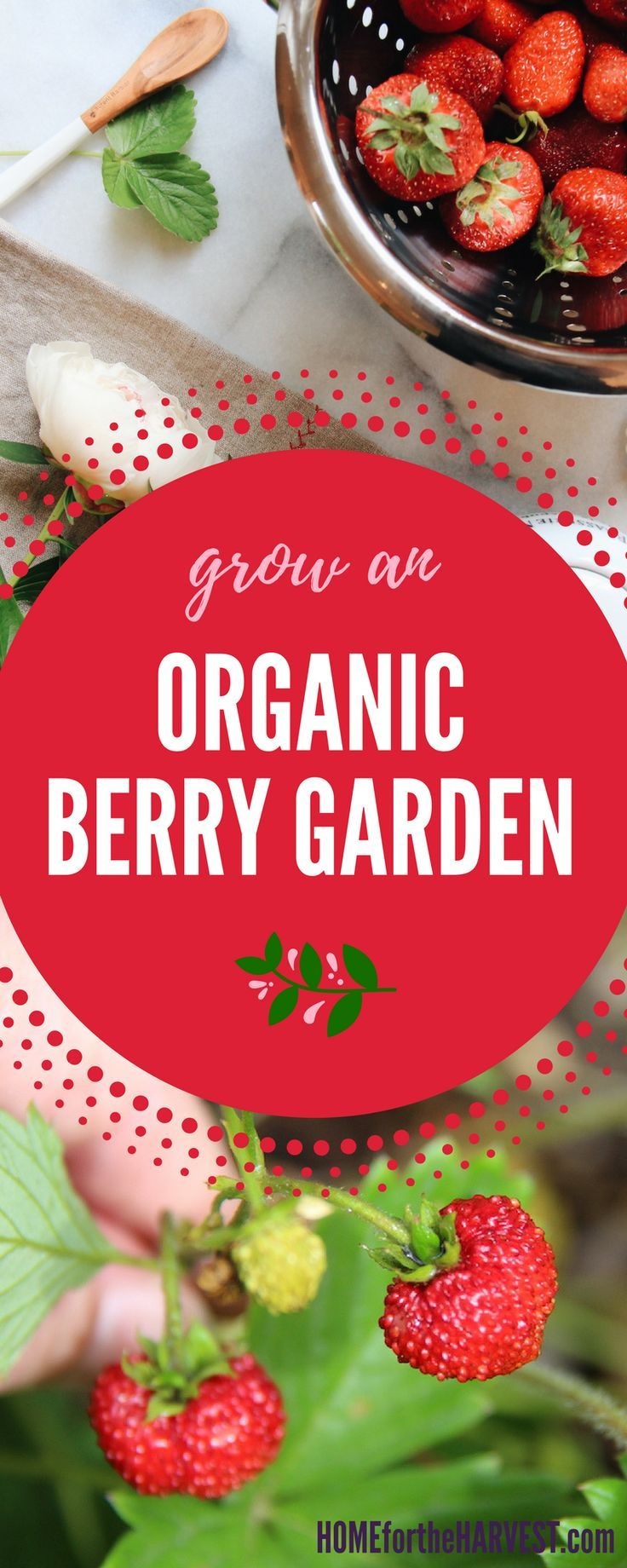 Organic berries are best when they're homegrown! They are so much sweeter and more delicious than store-bought berries. Here's an example of an organic berry garden. | Home for the Harvest #berrygarden #organicberries #berrygardens #organicfruit #organicgardening #gardening