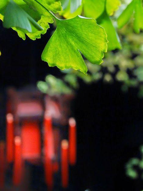 """Ginkgo Biloba e a lanterna vermelha.  Foto e texto de Weiqin Liao   A folha de Ginkgo Biloba folha e a colocação virtuali da lanterna vermelha fazem a gente se sentir bem.   A árvore de Ginkgo é """"a árvore da cidade"""" da cidade de Chengdu. Chega a viver mais de mil anos, """"um fóssil vivo"""".   Localização:. Chengdu, Sichuan Prov, China"""