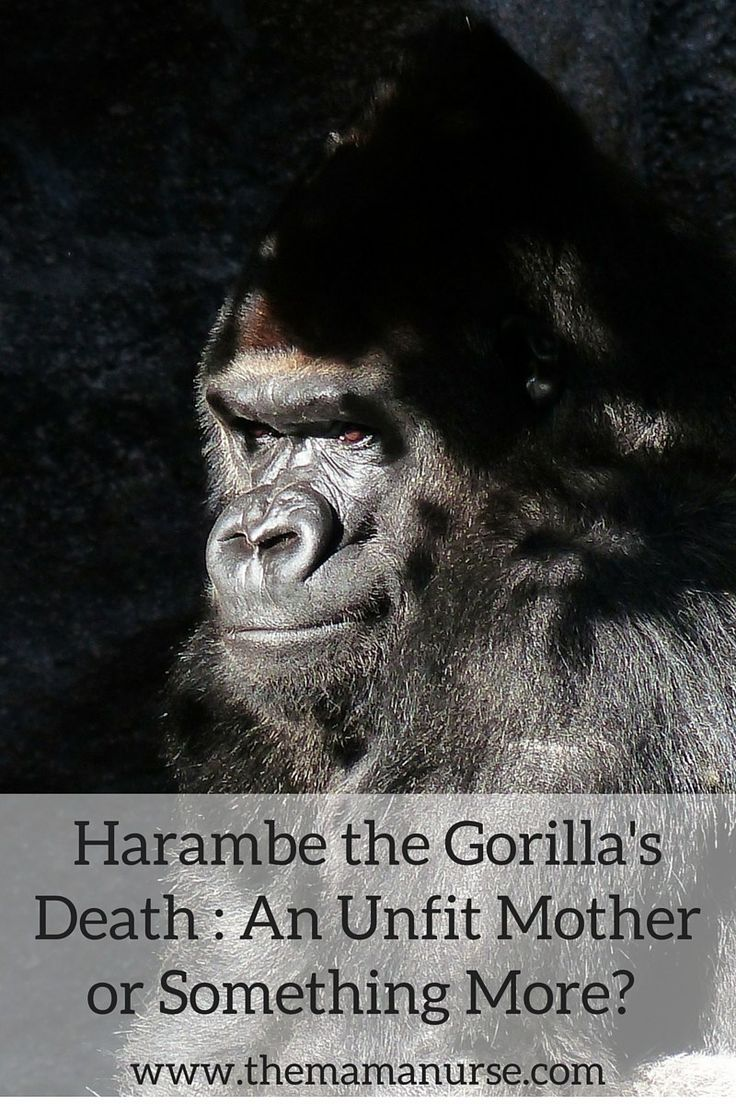 "Harambe the Gorilla's Death: An Unfit Mom or Something More? Since the incident there have been public outcries, viral memes generated and even a petition made on Change.org, called ""Justice for Harambe"", in which 480,939 supporters have signed requesting that this child's home be investigated."