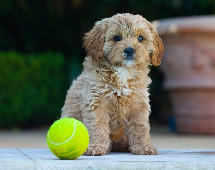 A lot of you were interested to know why I recommended limiting tennis ball chasing to just 5 minutes a day. Click here to read why: https://www.facebook.com/dcbpets/photos/a.1512188539102428.1073741828.1512166082438007/1552194465101835/?type=3&theater Dr. Chris Brown