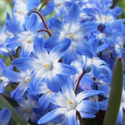"""Glory of the Snow / Chionodoxa Blue Giant (25) (Southern States) / Chionodoxa forbesii /  Light: Full Sun, Morning Sun & Afternoon Shade / Estimated Mature Height 6-8"""" tall / Bulb Spacing"""" 16 bulbs per sq. ft. / Planting DepthPlant 2-4"""" deep / Bloom Time: Early spring / Perennial"""