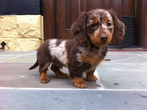 If I ever get Sugar a playmate.... this is what I'll get :) (chocolate dapple long haired miniature dachshund)