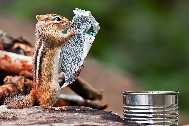This chipmunk dug the granola bar wrapper out of the soup can at my firepit. Looks like he's at a bus stop:)