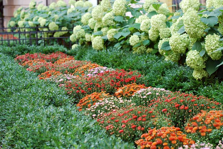Fall Annuals Landscape Bed Boxwood Hedge Hydrangea Garden