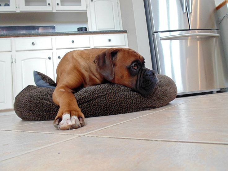 #Purebred #Boxer #Dog #Puppy #Brody #Cute #Male #Photography #Kitchen #Doggy #Bed
