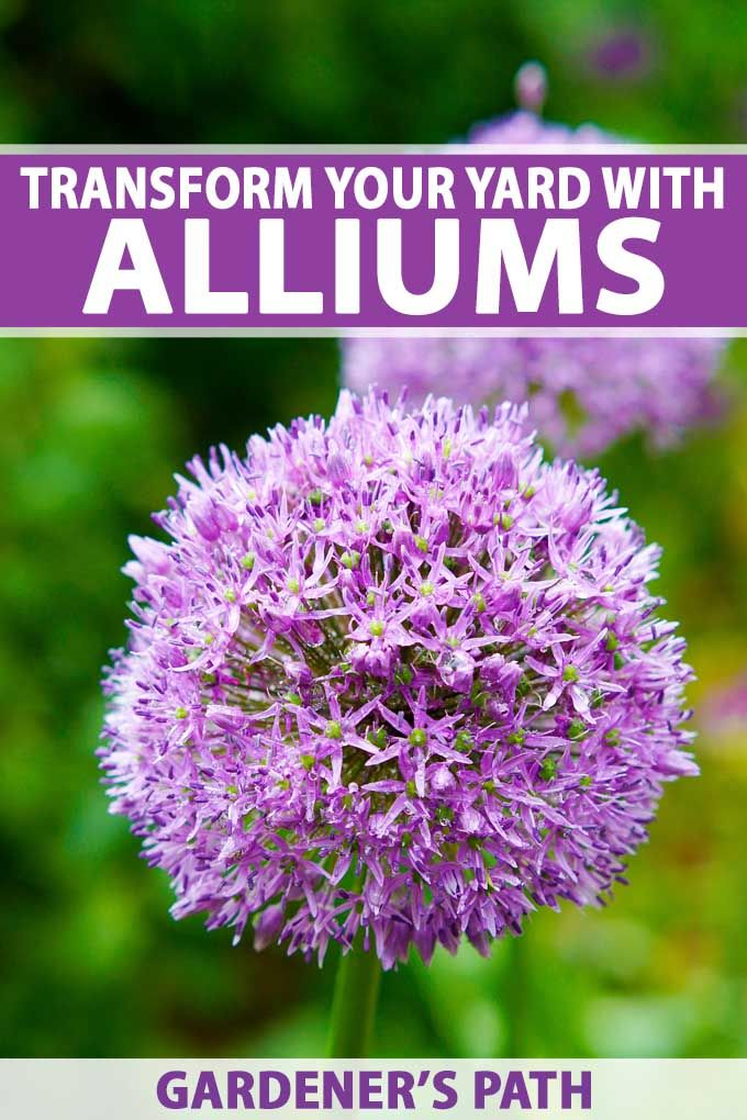 How To Grow Giant Alliums Allium Flowers Planting Flowers Plants