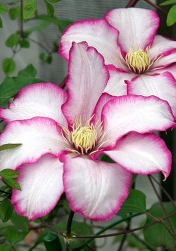 Clematis 'Betty Risdon'! More clematis pics