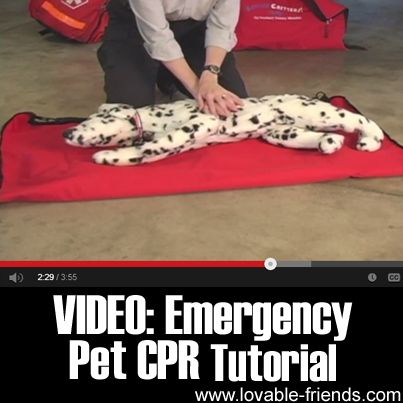 VIDEO: Emergency Pet CPR Tutorial	►►	http://lovable-dogs.com/video-emergency-pet-cpr-tutorial/?i=p