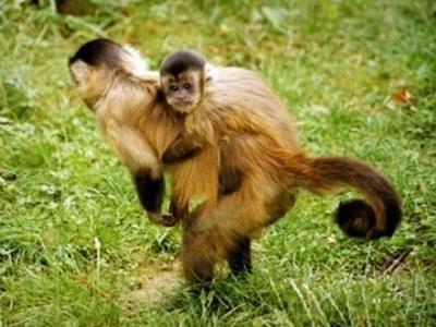 Un parc accueillant plus de 350 singes - La Vallée des Singes, à Romagne, est un parc animalier de plus de 15 hectares dans lequel vivent en semi-liberté…