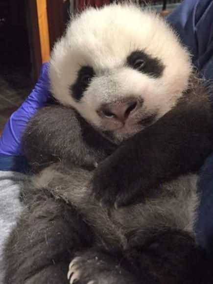 Bei Bei, who started off a blind, pink jellybean of a bear, now weighs 8.3 pounds and is covered in abundant amounts of black and white fur, reports NBC Washington. Panda Cub Update: Bei Bei Is Growing into a Big Boy | People