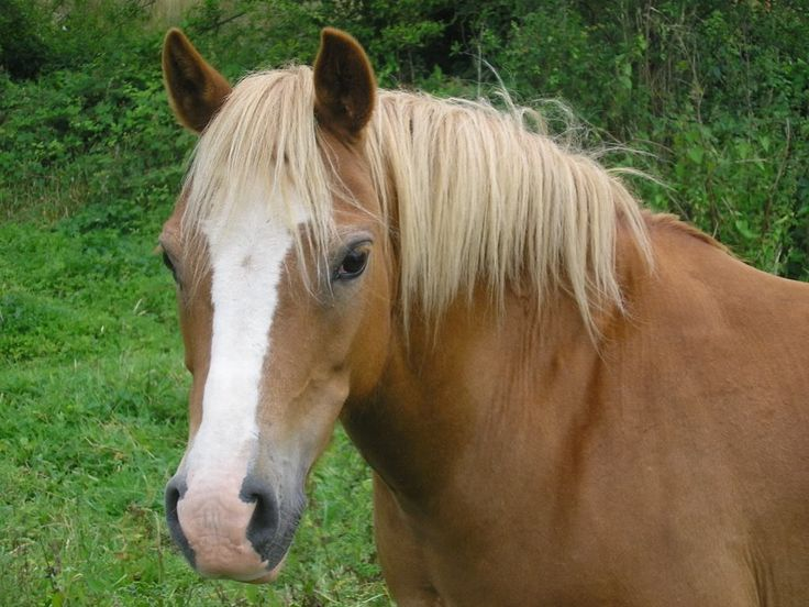 chestnut with a flaxen mane and tail | Horses | Pinterest - photo#8