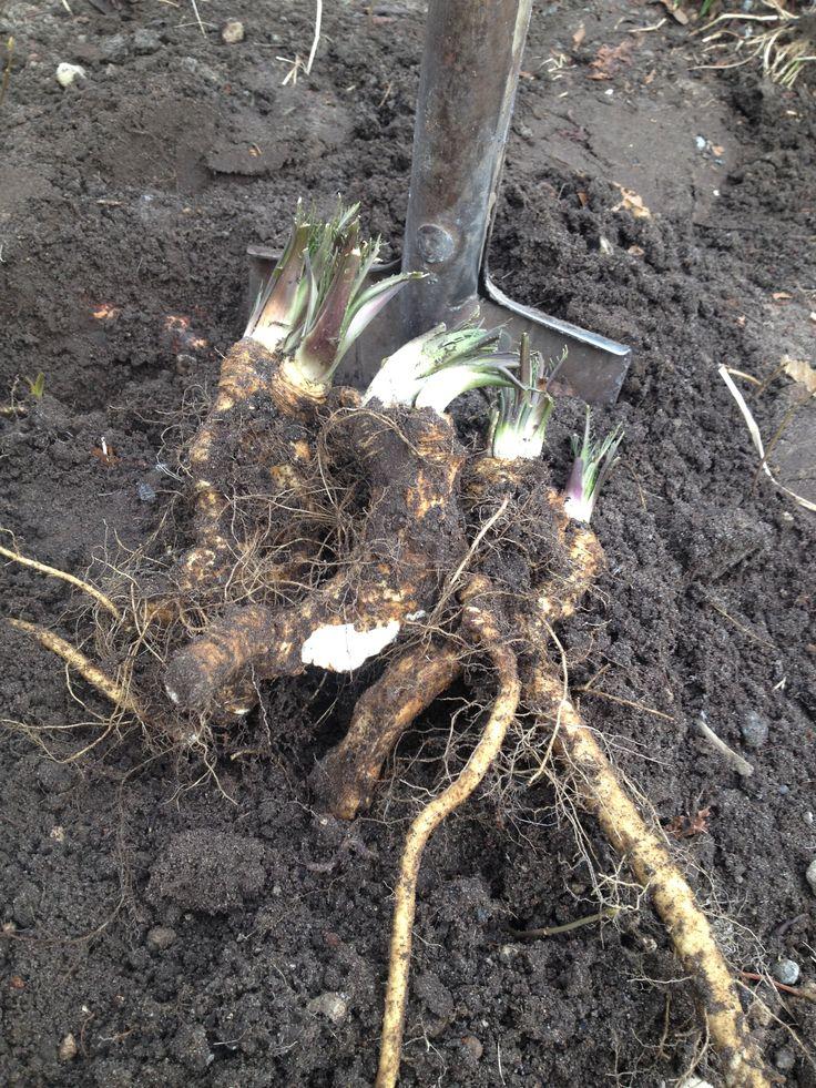 Putter peberrod i jorden nu, og er selvforsynende i sensommeren. :-)