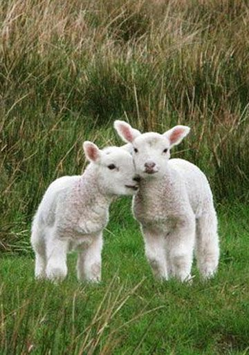 there are some loving lambs, eieio