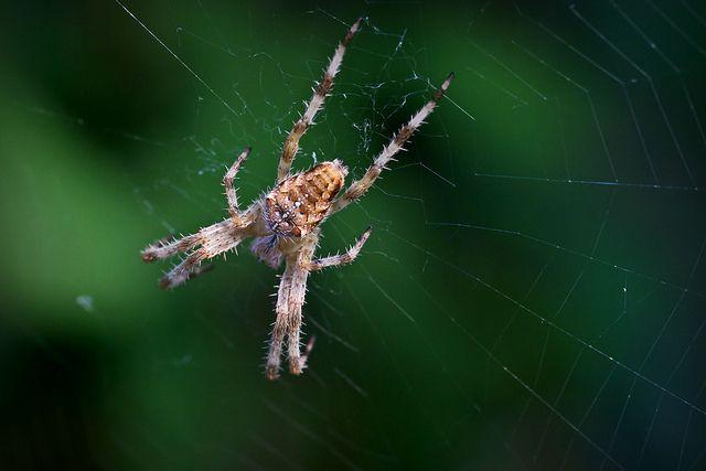 Araneus diadematus © David Witczak