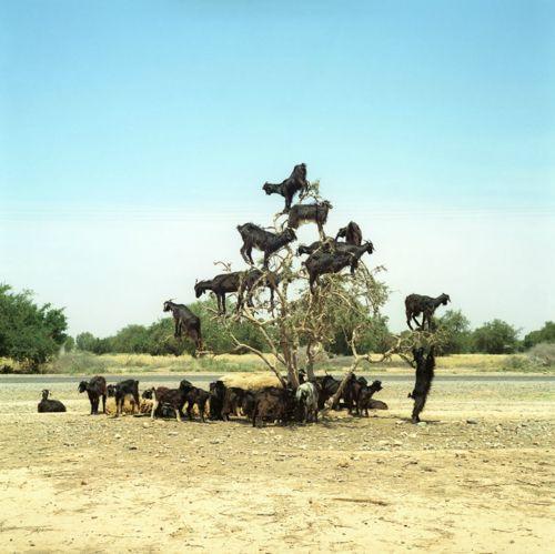Goats, Taroudante, Morocco.    Lorne Bridgman