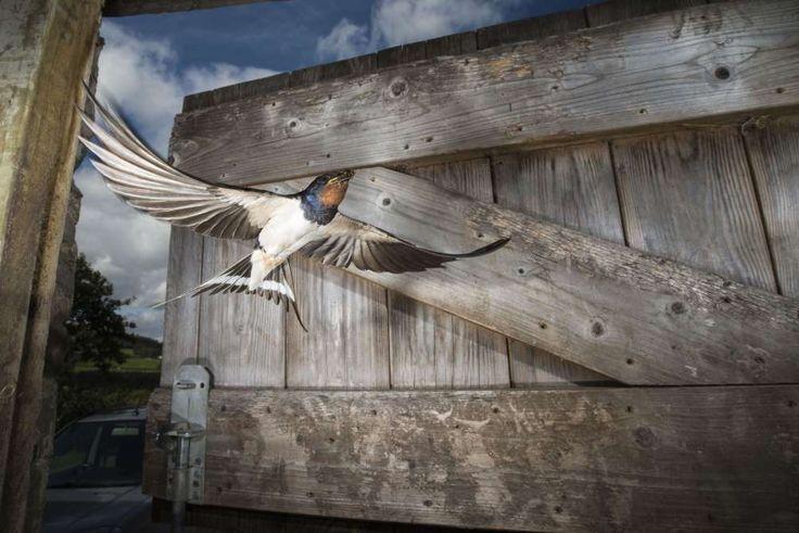 Corwen, England  Eine Rauchschwalbe fliegt in einen Stall um ihre Jungen zu füttern.