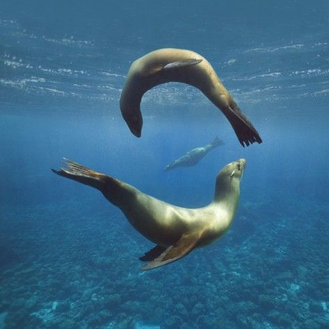 Sea Lions Playing Underwater Photographic Print   Oceans ...