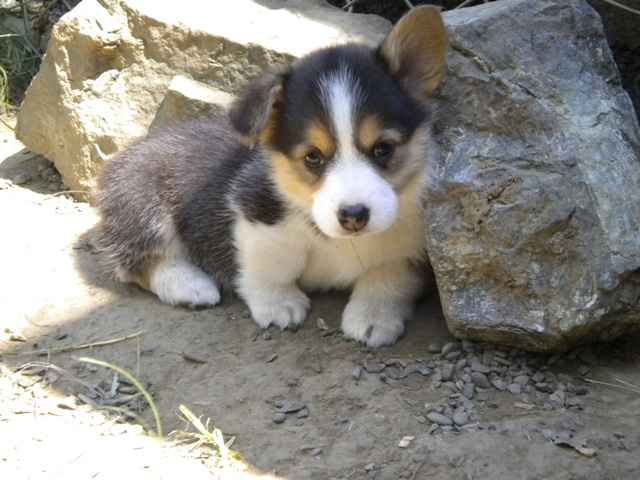 Someday I will have a Tricolor Pembroke Welsh Corgi! They're so freaking adorable!  I currently have a Siberian Husky and a Black Lab... I'm kinda maxed out on dogs right now!
