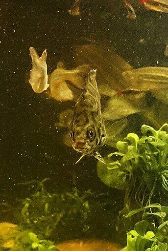 Happy leopard gourami! Freshwater aquarium, asian biotope