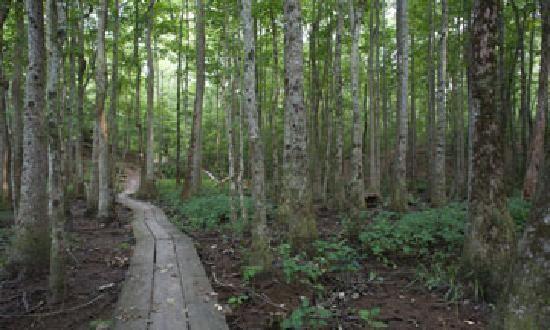 Boardwalk at Neuse River forest walk