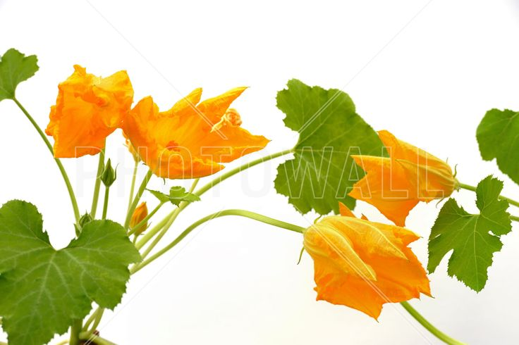 Squash Flower - Fotobehang & Behang - Photowall