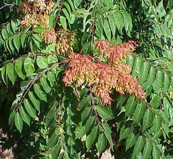 Chinese tree of heaven is a curse to the Central Valley. Eradication is difficult.