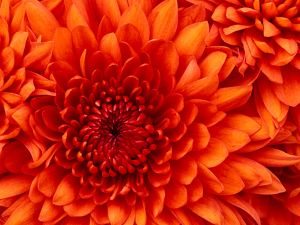chrysanthemum.jpg (300×225)
