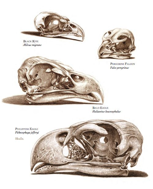 The Unfeathered Bird: An Illustrated History of Avian Anatomy | Brain Pickings