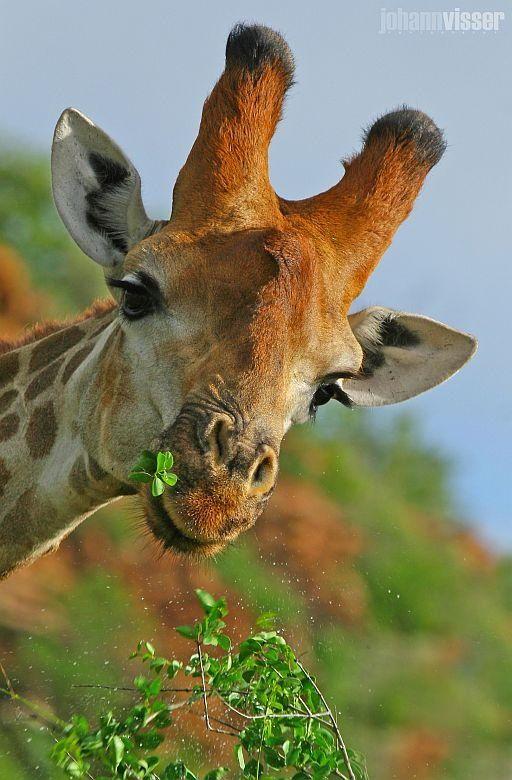 Photograph Feeding giraffe by Johann Visser on 500px