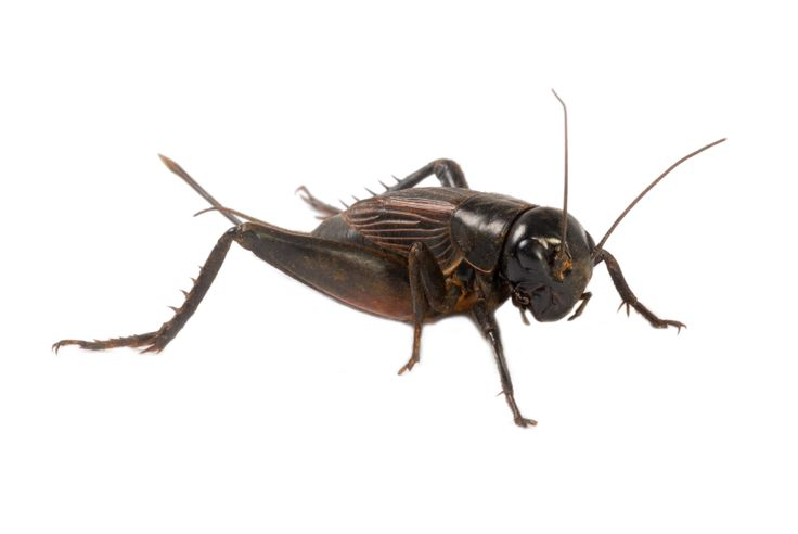 97 best always wondered images on pinterest survival How to get rid of crickets in the garden