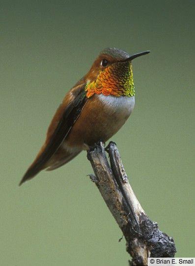 Rufous Hummingbird - Introduction | Birds of North America Online