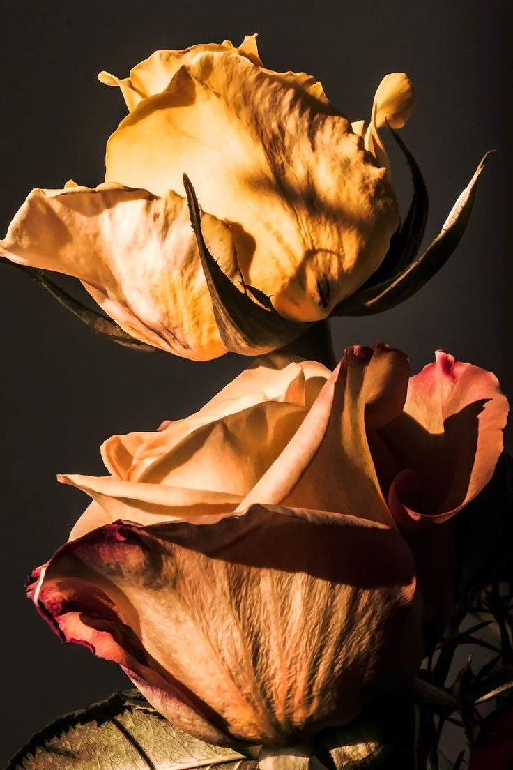 Rose syblings by Maria Bruscha on 500px