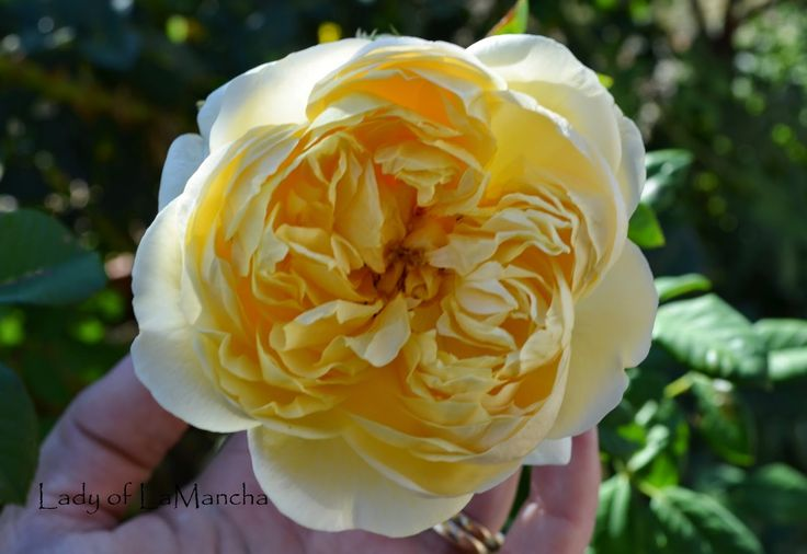 the pilgrim david austin yellow rose toledo spain. Black Bedroom Furniture Sets. Home Design Ideas