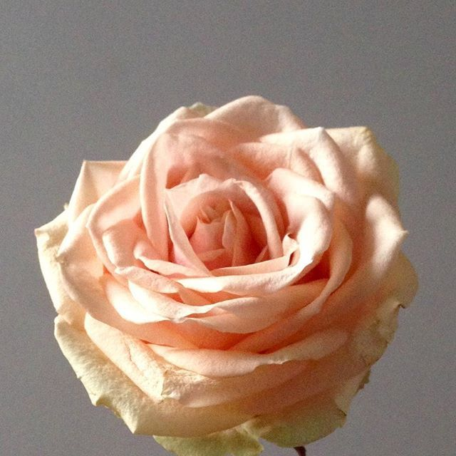 """Pearl Avalanche - the perfect pale coral rose    This rose....  """"A summer flower  In the perfect autumnal  Shade of coral peach""""  Ode to the Pearl by @flowerseting"""