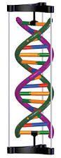 En la cultura popular moderna, la forma de la doble hélice está fuertemente asociada con el ADN. El ADN toma esta forma de manera natural por dos razones: puede ser doble para así poder reproducirse por sí misma, y la hélice es más fuerte que dos cadenas paralelas, ya que al empujarse en cualquier dirección no sean desquebrajadas por ser dobles en ese caso son muy resistentes y se forman por dos hélices.
