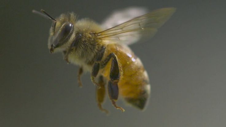 'Apis Mellifera: Honey Bee', A Slow-Motion Video Featuring Fascinating Facts About the Lives of Bees