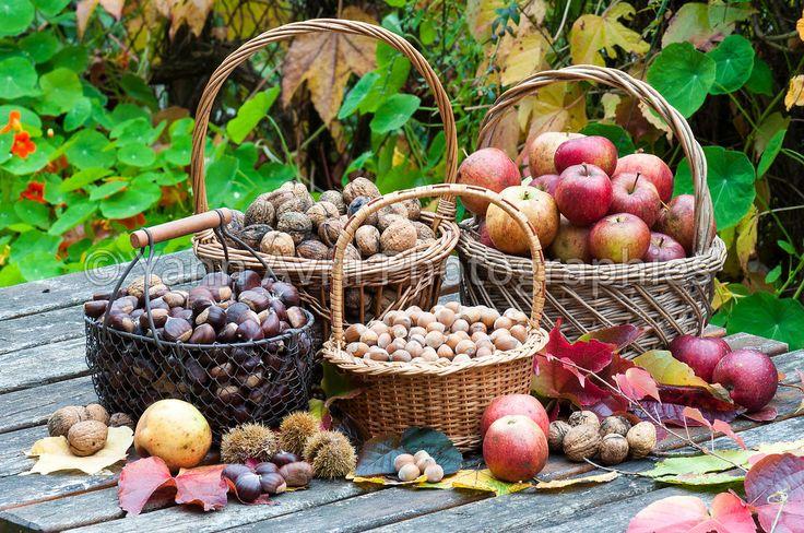 r colte de fruits secs et pommes dans un jardin en automne. Black Bedroom Furniture Sets. Home Design Ideas